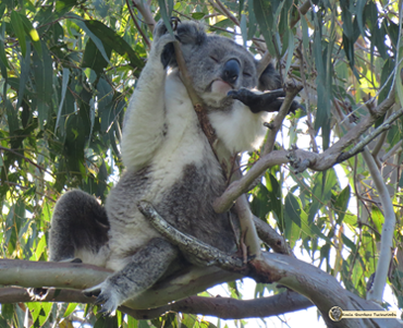 Racee is a wild koala that you can adopt to help save koala habitat for our koalas to live on